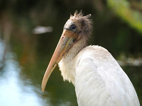 The Wood Stork Youngster
